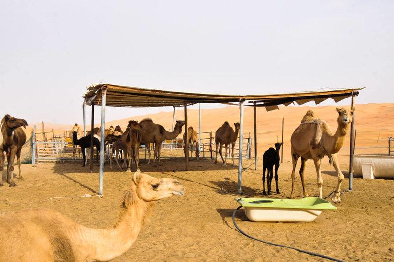 Liwa Camel farm